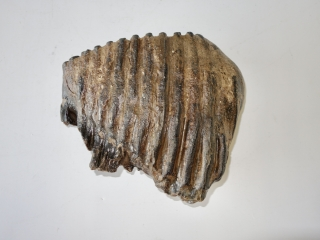 A Superb Upper Jaw M2 Molar of a Palaeoloxodon antiquus