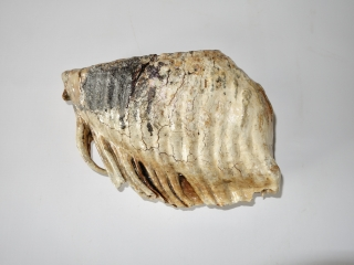 A Stunning Lower Jaw M2 Molar of a Woolly Mammoth