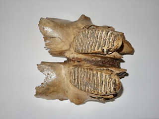 A Partial Skull with M2 Molars of a Woolly Mammoth