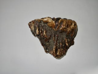 A Good Upper Jaw M2 Molar of a Southern Mammoth
