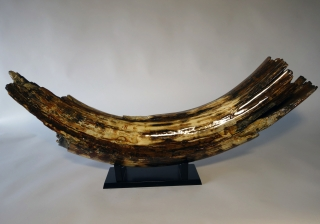 A Massive Piece of Tusk of a Woolly Mammoth