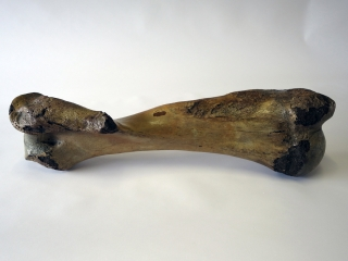 A Fantastic and Complete Humerus of a Woolly Mammoth