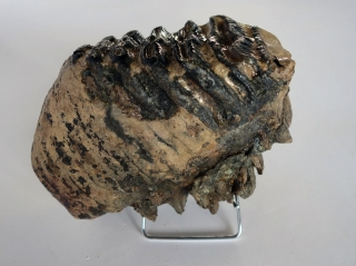 A Wonderful Upper Jaw M3 Molar of a Southern Mammoth
