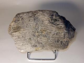 A Rare Fossilized Carboniferous Sigillaria Plant