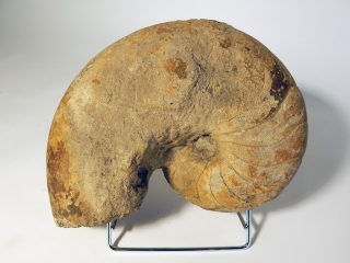 A Fossilized Ammonite