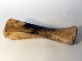 A Partial Tibia of a Juvenile Woolly Mammoth