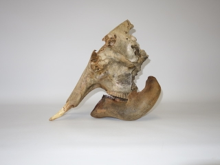 An Exceptionally Rare Skull of a Juvenile Woolly Mammoth